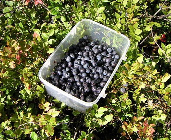Bilberry Fruit